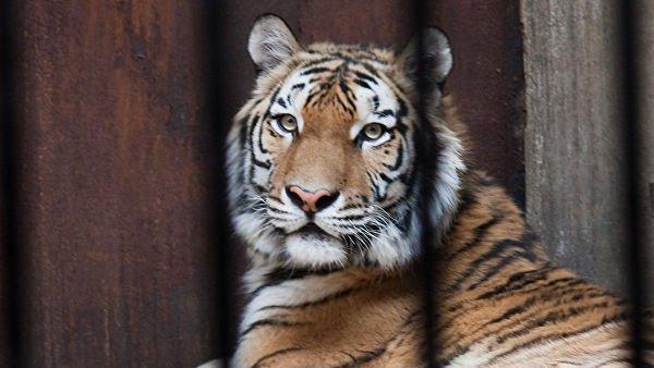 Южно-китайский тигр, зоопарк в Чунцине. Китай.