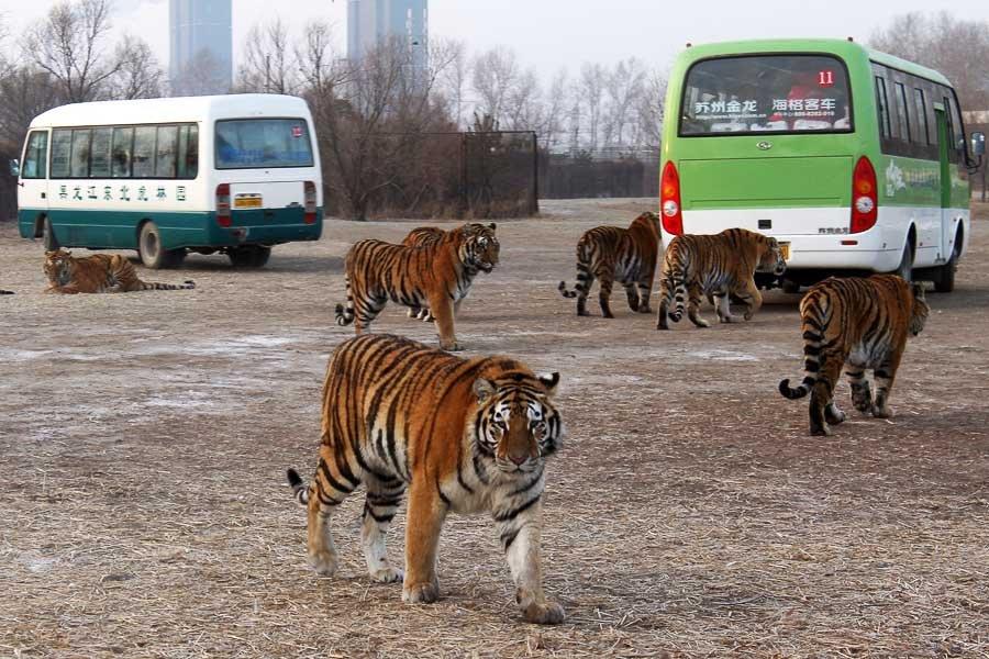 Парк тигров в Харбине, Китай
