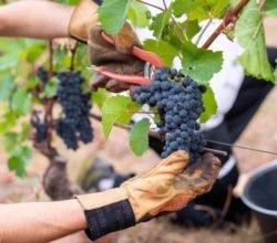 История виноделия в Китае и лучшие китайские вина
