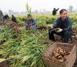 Как выращивают имбирь в Китае, уникальные свойства корня жизни