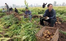 Как выращивают имбирь в Китае